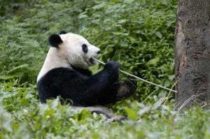 Panda project China